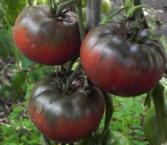 "Томат ""толстушка"": описание сорта, характеристики плодов-помидоров, рекомендации по выращиванию и фото"