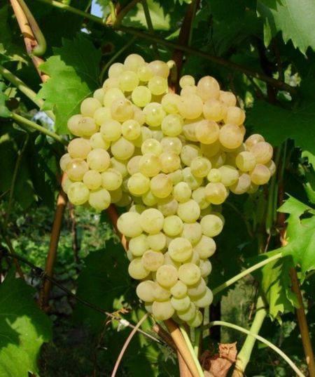 Виноград кишмиш 342 (венгерский кишмиш) — гордость садовода с мускатным ароматом