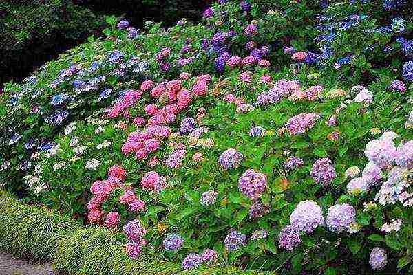 Древовидная гортензия: агротехника и лучшие сорта