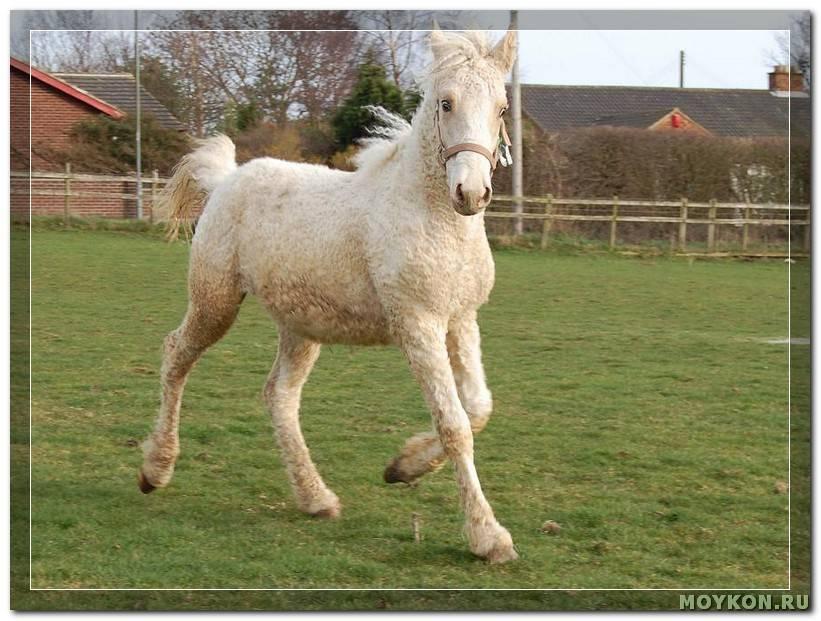 Башкирская лошадь (22 фото): характеристика лошадей, выведенных в башкортостане. описание характера коней и жеребят башкирской породы