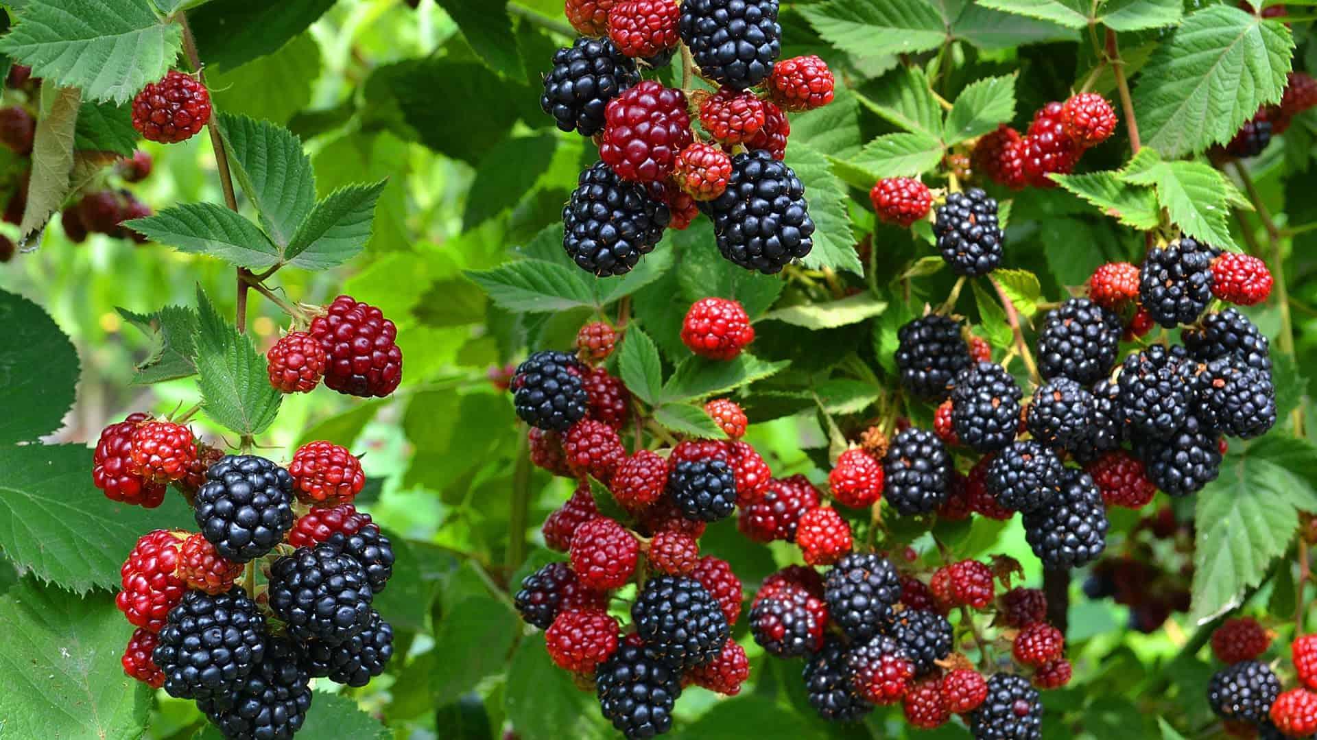 Ежевика натчез: характеристика, урожайность сорта