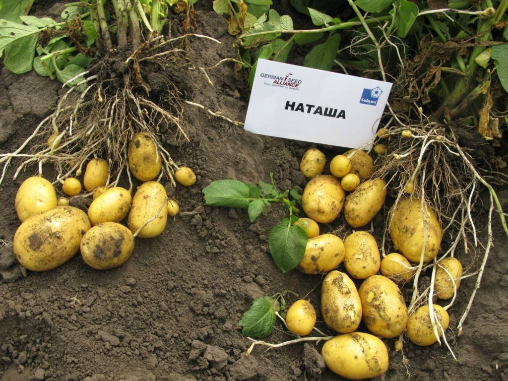 Сорт картофеля крона характеристика отзывы