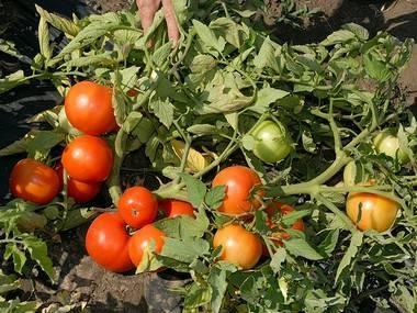 Сорт помидор «бобкат», подробное описание с фото