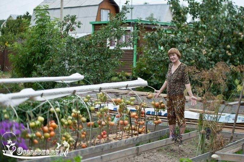 Выращивание помидоров в открытом грунте: все секреты
