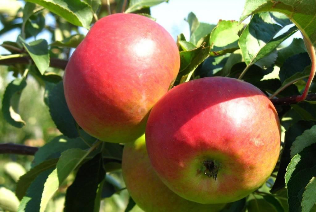 Особенности посадки и ухода за яблоней сорта жигулёвское