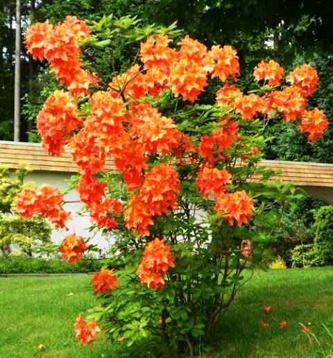 Рододендрон японский: популярные сорта, описание, посадка и уход за цветком
