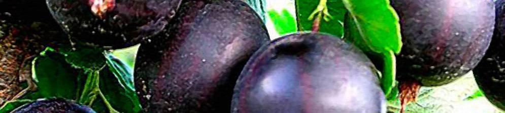 Крыжовник ленинградский великан: характеристика, особенности выращивания и размножения