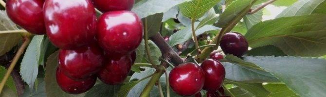 Вишня саратовская малышка: описание сорта, фото, правила выращивания
