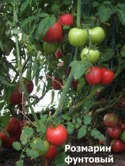 Сорт томата розмарин (розамарин)