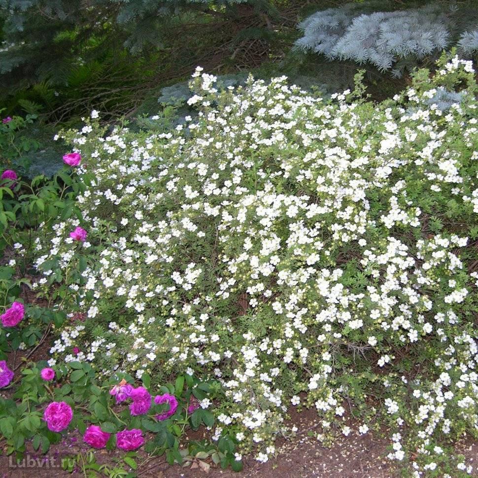 Лапчатка кустарниковая: описание сортов и особенности выращивания