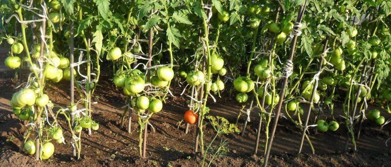 Высадка рассады томатов в теплицу в 2020 году: сроки, правила, подготовка