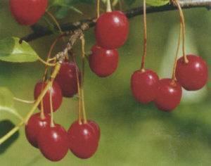 Вишня брусницына: описание и характеристики сорта, правила посадки и ухода