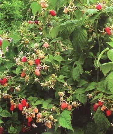 Малина сорта бабье лето: характеристика, особенности выращивания