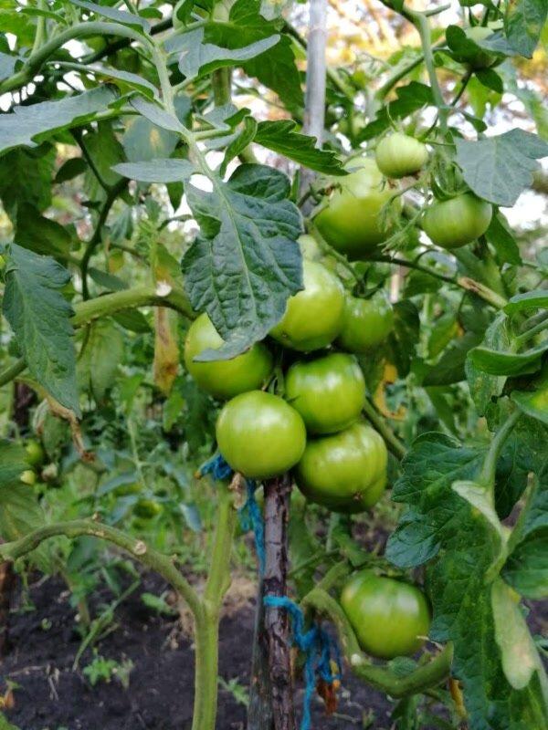 Когда садить помидоры в сибири (на рассаду и в грунт). личный опыт сибиряка + лунный календарь на 2020 год