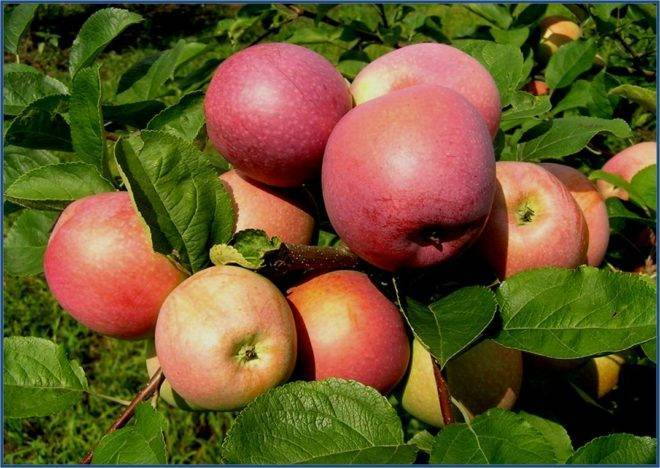 Яблоки слава победителям ─ сорт, проверенный временем