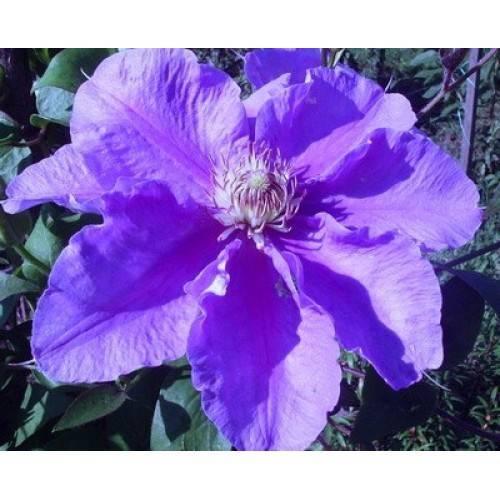 Описание рододендрона розеум элеганс и его выращивание