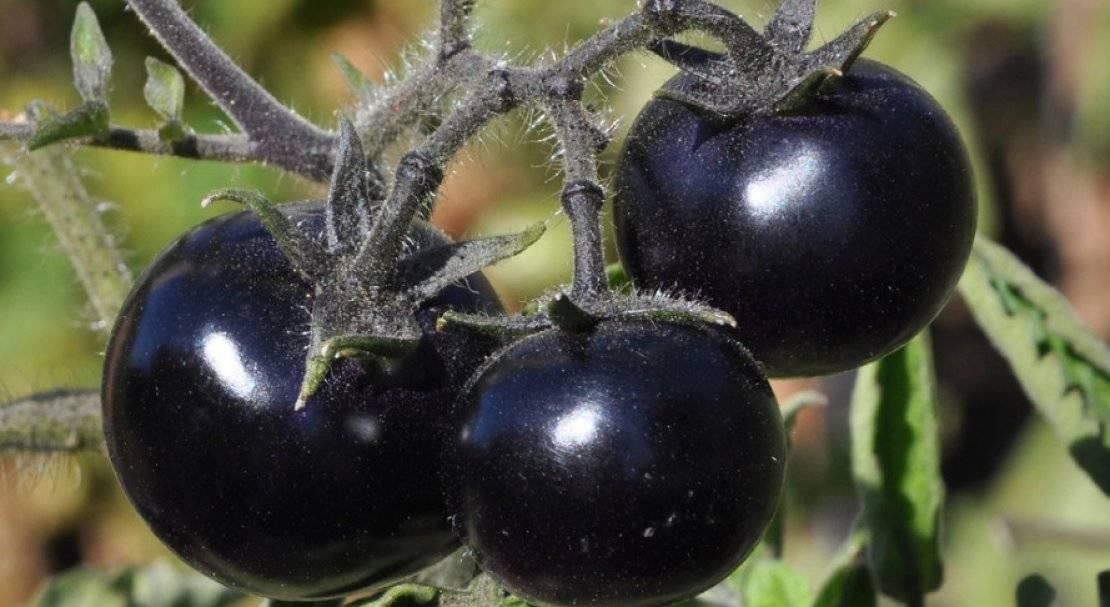 Описание сорта томата глория и его характеристики
