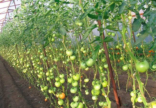 Высокорослые и высокоурожайные томаты для теплиц