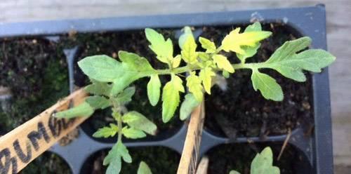 Опадают листья у рассады помидор при проращивании: 4 способа борьбы