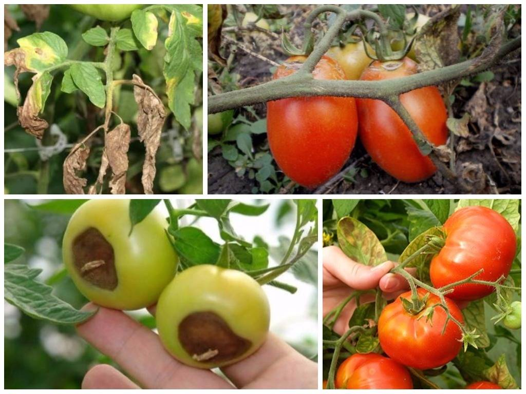 Обработка семян томатов перекисью водорода