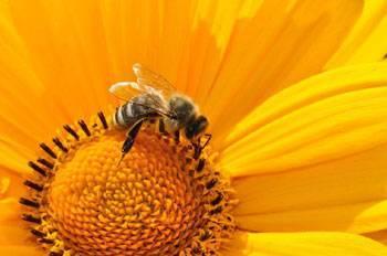 Пчелиное маточное молочко: польза и вред | польза и вред