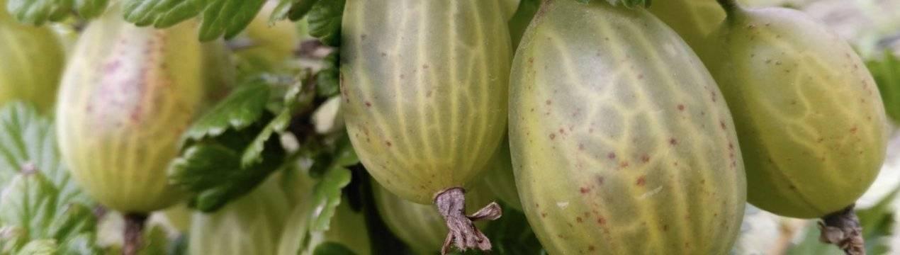 Крыжовник изумрудный: описание сорта