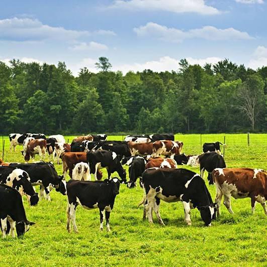 Коровы в личном хозяйстве: основы содержания и ухода