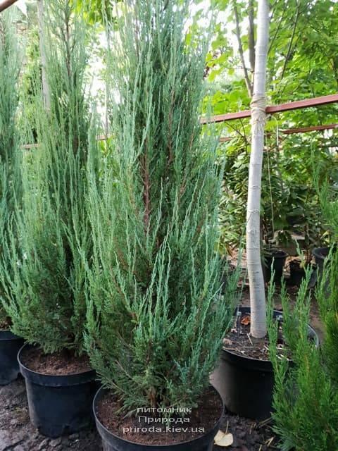 Можжевельник скальный (juniperus scopulorum)