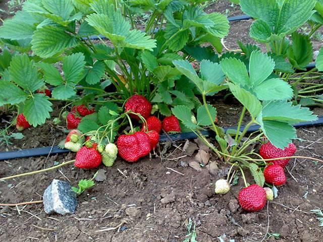 Всё о садовой землянике (клубнике) королева елизавета: описание сорта земляники, посадка, уход и другие аспекты + фото