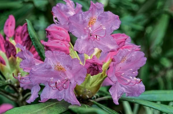 Рододендрон катевбинский грандифлорум: посадка и уход, размножение