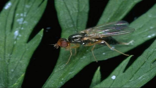Морковная муха: как с ней бороться на грядке, как уберечь морковь народными средствами, внешний вид и фото вредителя