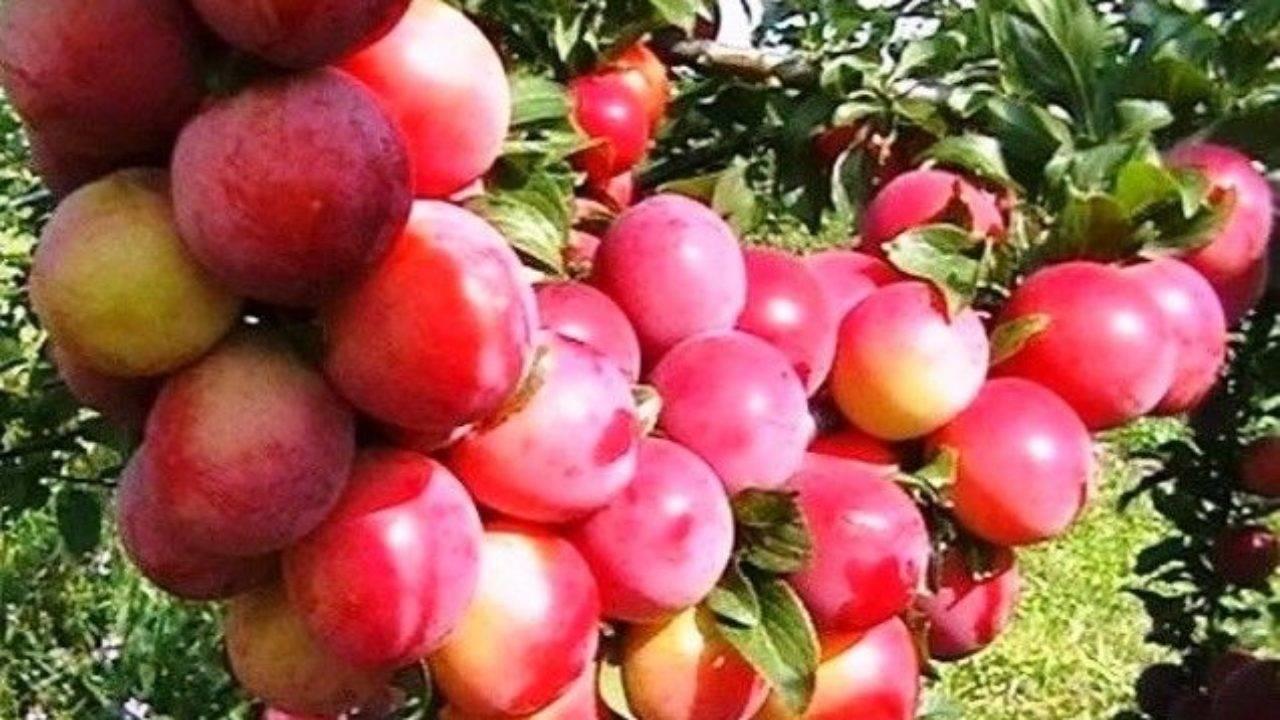 Выращивание сливы сорта персиковая