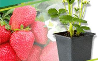 Все о посадке боярышника в открытый грунт: как ухаживать, размножение