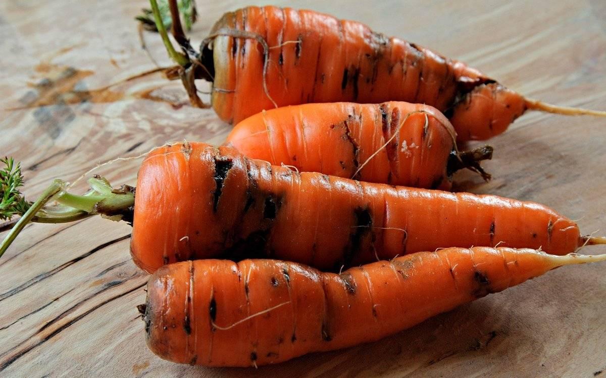 Как бороться с морковной мухой на участке— эффективные методы
