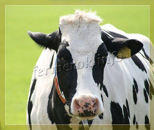 Черно-пестрая порода коров: характеристика молочной продуктивности, фото, особенности масти и веса — moloko-chr.ru