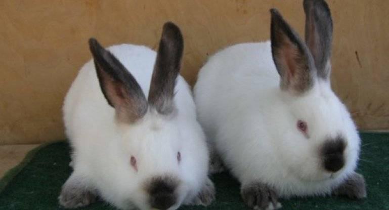 Калифорнийский кролик: описание породы, характеристика, особенности содержания и разведения