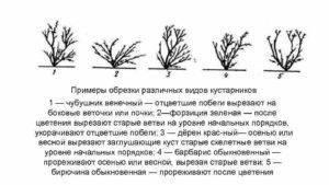 Обрезка жасмина осенью: когда и как правильно обрезать, схемы формирования кроны кустарника, обрезка в целях обновления растения