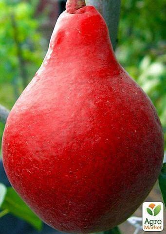 Особенности выращивания и ухода за грушей сорта старкримсон