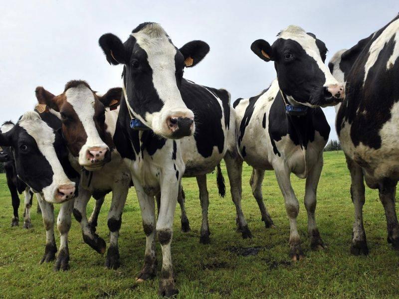 Бонитировка крупного рогатого скота – определение классовости крс