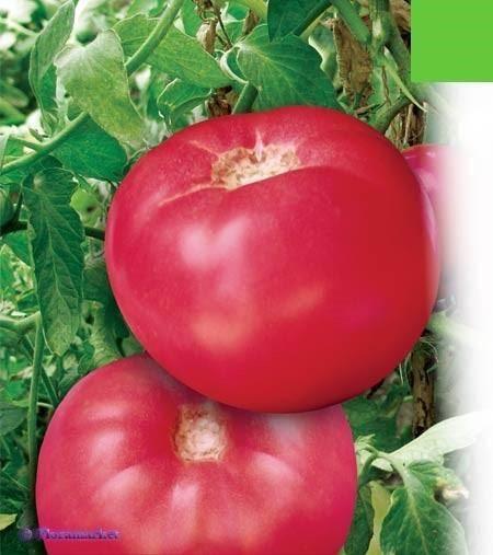 Прекрасный сорт томата микадо: описание любимых помидоров дачников