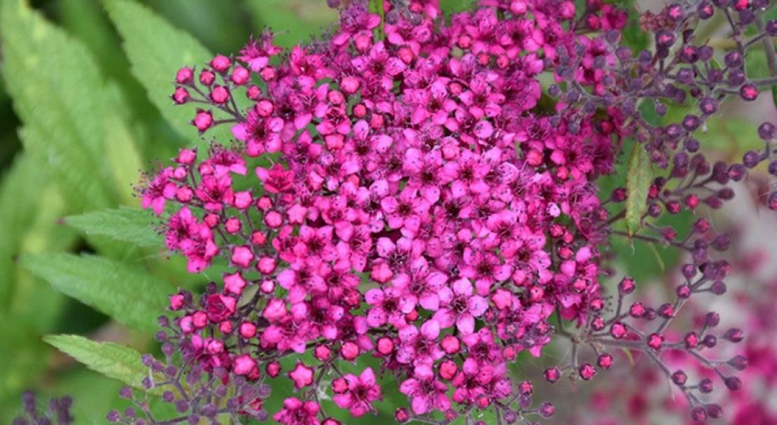 Цветущие декоративные кустарники - спирея - spiraea - описание сортов, фото
