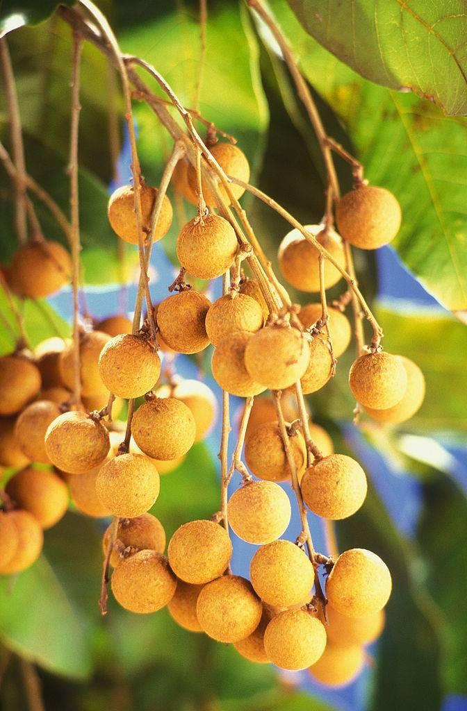 Лонган - полезные свойства экзотического фрукта, его фото. экзотический фрукт лонган, калорийность, полезные свойства