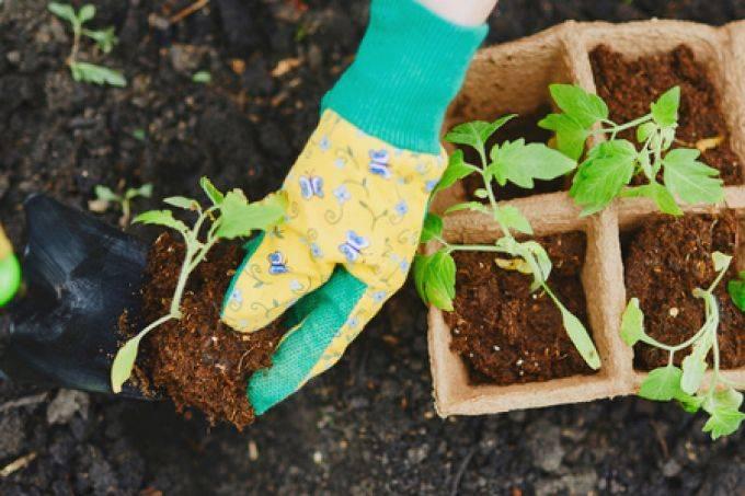 Как вырастить баклажаны в подмосковье: лучшие сорта, когда сеять семена на рассаду и когда осуществлять посадку в открытый грунт или теплицу?