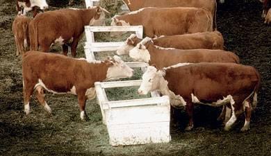 Привязное и беспривязное содержание крупного рогатого скота