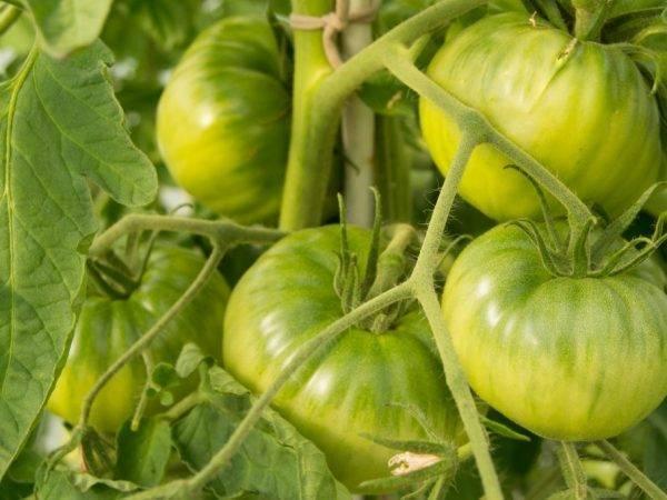 Вечный зов томат отзывы