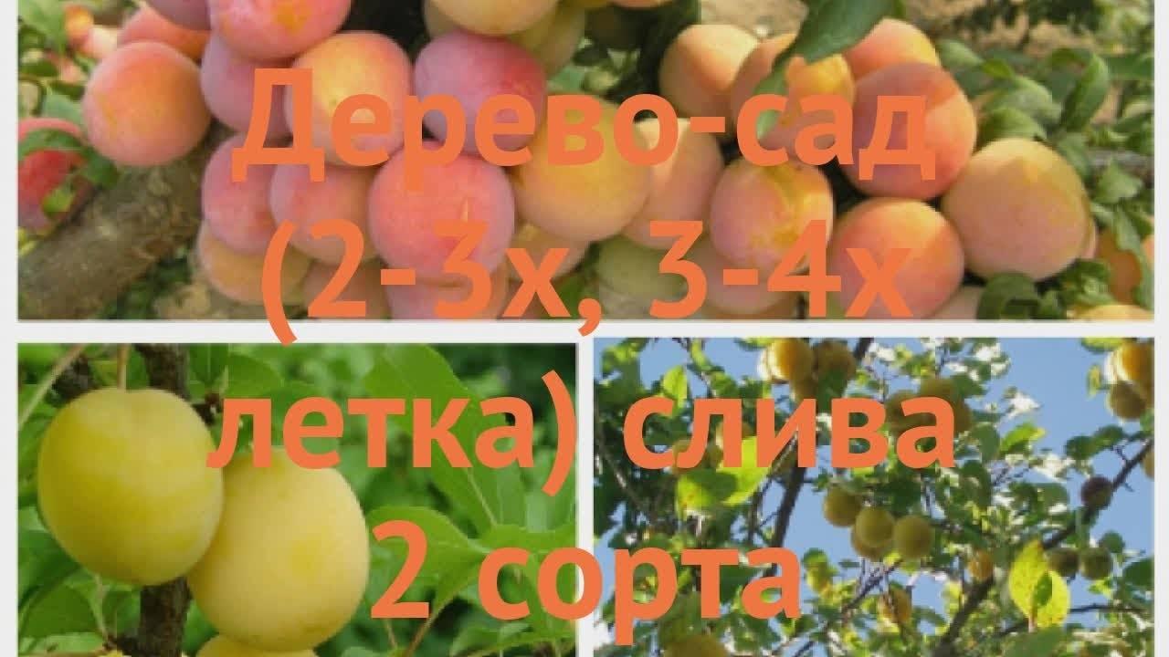 Алыча Злато Скифов: описание сорта, фото, отзывы