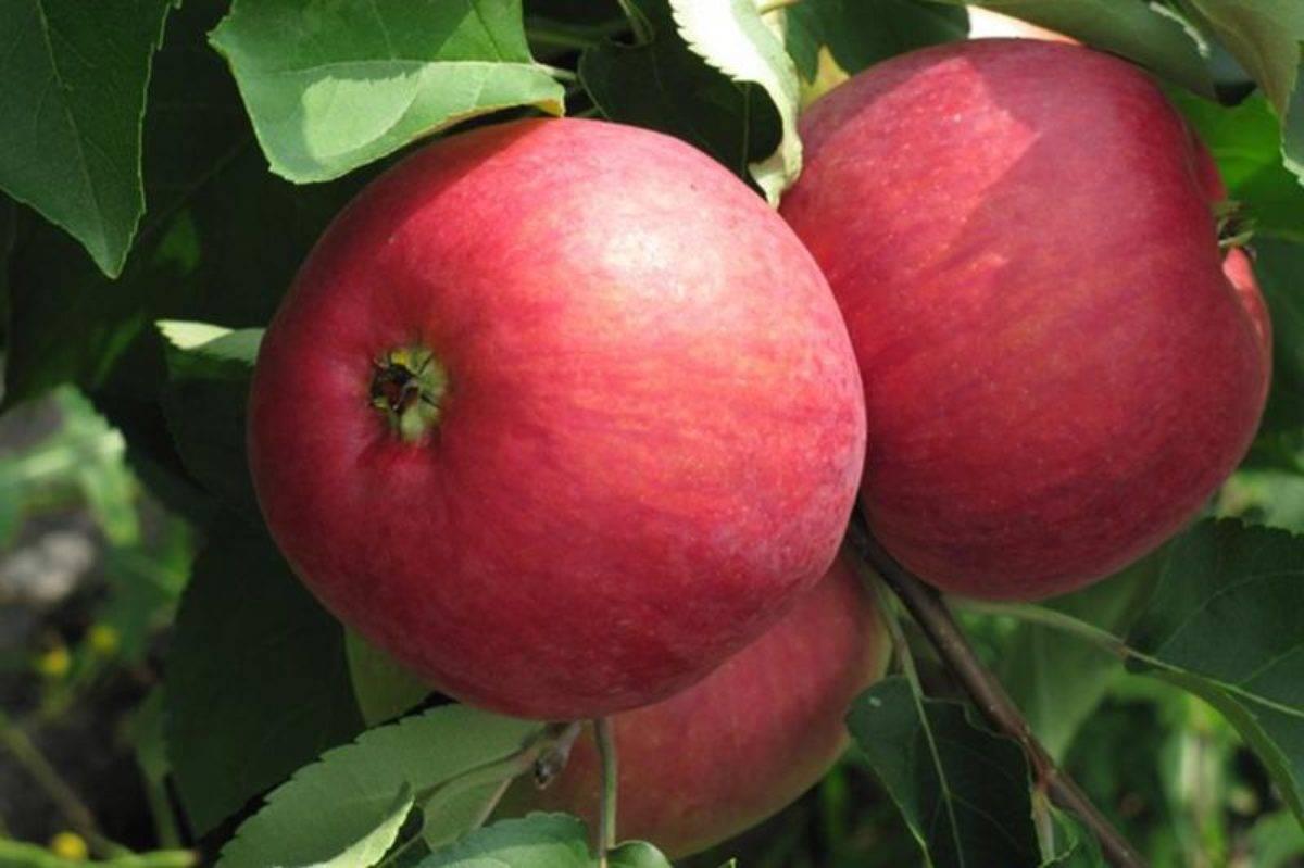Описание яблони жигулевское, посадка и уход