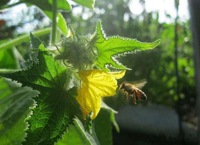 Огурцы сибирская гирлянда f1: описание сорта, особенности выращивания и ухода