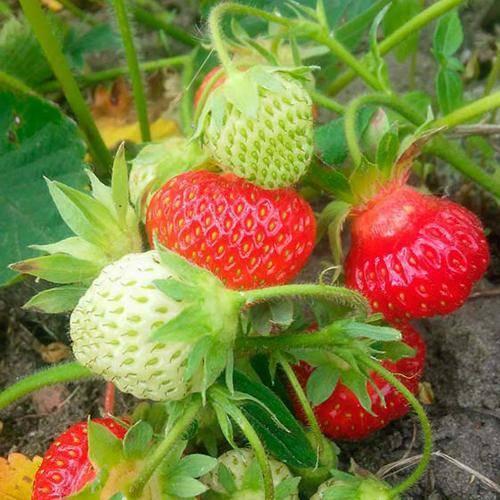 Клубника кимберли: описание сорта, фото, отзывы садоводов, методы посадки и ухода