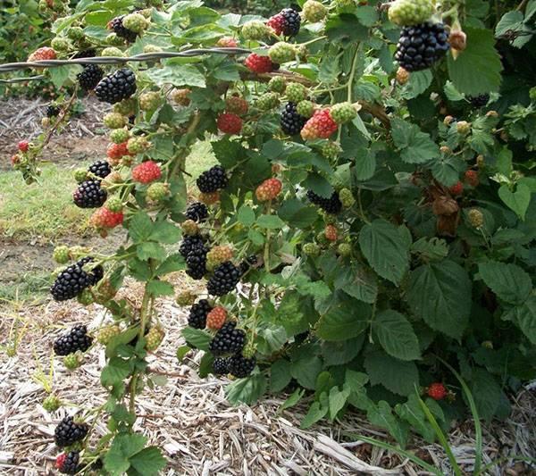 Характеристика и особенности выращивания ежевики сорта полар